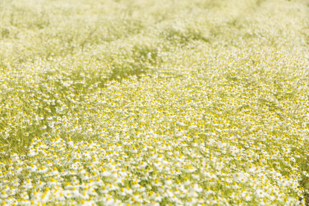 カモミールの花で収穫時に一面の花畑に